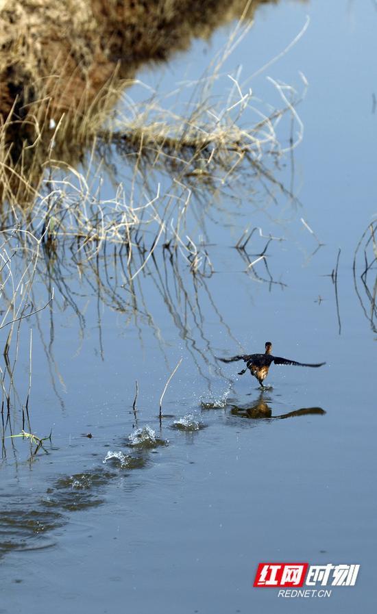 """11日,东洞庭湖自然保护区,一只候鸟在水面上跳起""""华尔兹""""。摄影 秦楼"""