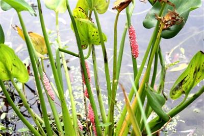 滨湖公园湖边水草上出现很多福寿螺粉红色卵块。