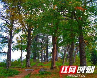 崇木凼村古树。