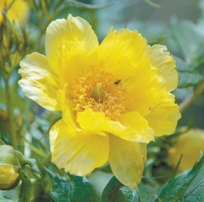 盛开的大花黄牡丹。 张志翔摄