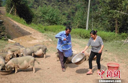 彭南云和妻子一起喂猪。 陈倩 摄