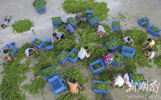 (8月22日,永州市冷水滩区麦子园村,村民们在泡菜厂加工辣椒。湖南日报·华声在线记者 辜鹏博 摄)