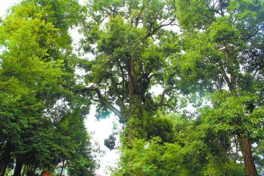 生长在泸溪县潭溪镇新寨坪村的国家二级珍稀古树木——苦槠。  通讯员摄