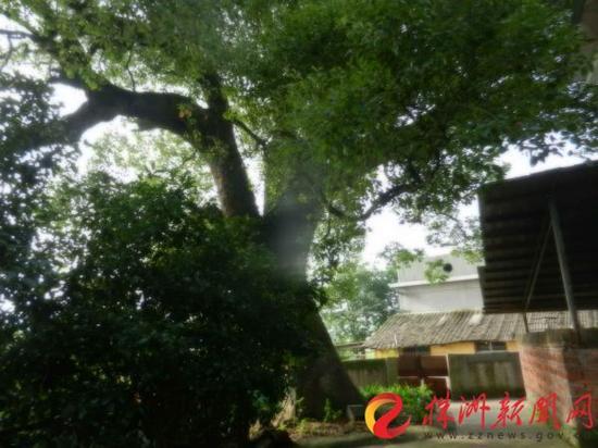 城区树王是一棵樟树,生于芦淞区枫溪街道湘江村(通讯员 供图)
