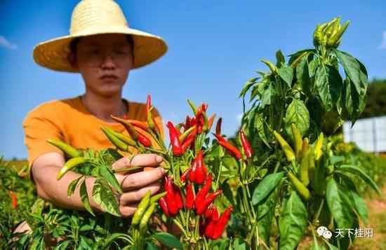 桂阳五爪辣助力当地农民致富增收。