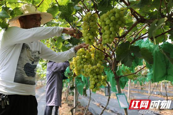 晶莹剔透的葡萄挂满枝头。
