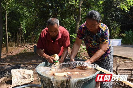 杨金生与妻子洗刷着刚从农田中挖掘出来的莲藕。