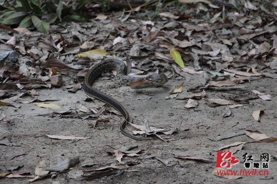 出于对动物的保护,6日上午,消防队员把蛇运送到附近的山林将其放生。