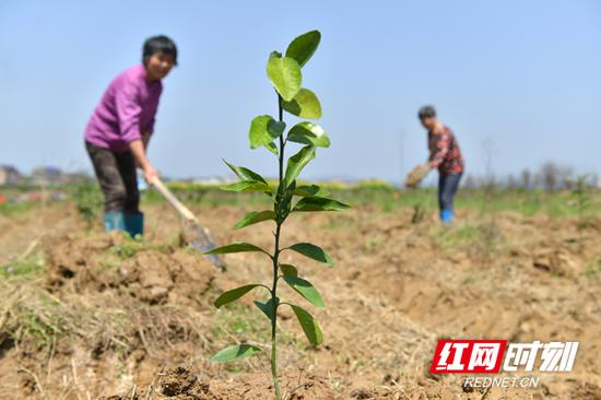 """计划种植两万多棵沃柑树苗,希望通过示范引领,逐步打造""""一乡一品""""。"""