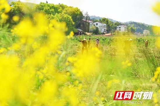 衡东县供销社通过招商引资,在新塘镇龙头村打造了300亩的供销沃柑产业扶贫示范基地。