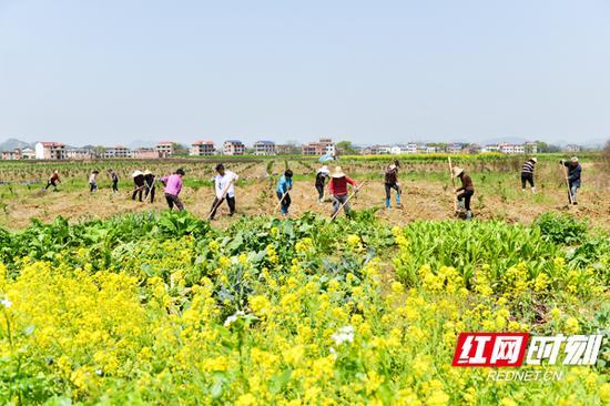 近日,衡东县新塘镇龙头村一片繁忙,村民们正在栽种沃柑树苗。