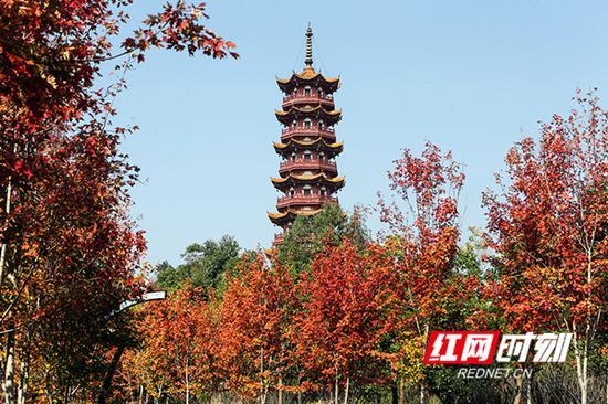 临武县东塔公园红枫红的似团火,如此娇艳。