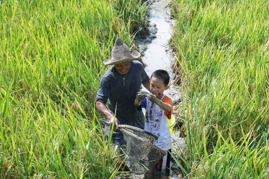 游客体验稻田捉鱼。