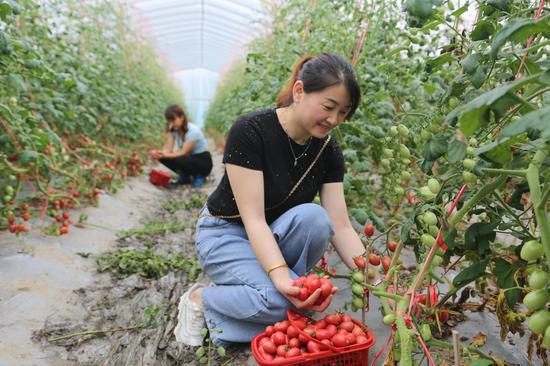 游客们在资兴市三都镇流华湾伟利农场采摘成熟的圣女果 休验农活 享受丰收的喜悦