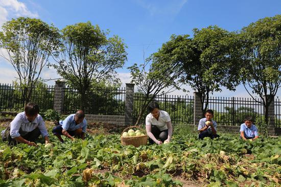 """该院工作人员和老人一起在""""开心农场""""里采摘香瓜享受丰收的乐趣"""
