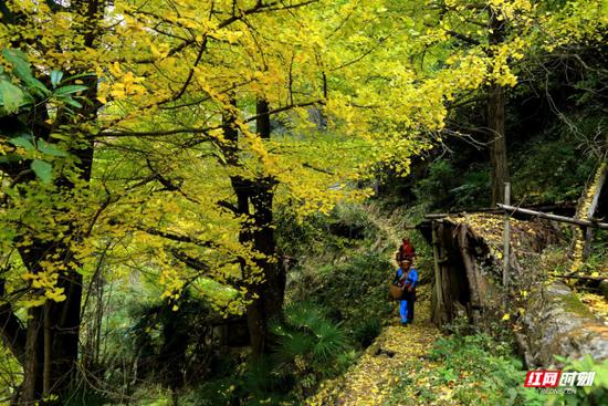 长兴瑶族村的银杏群与瑶民相映成趣、古朴生动。