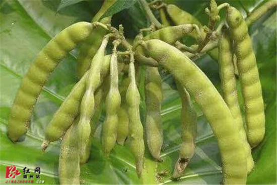 凉薯豆荚外观与普通豆荚极为相似。