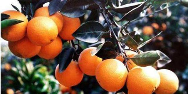 新闻特写:新宁以脐橙产业助推脱贫攻坚