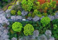 湖南省森林植物园数千株樱花绽放