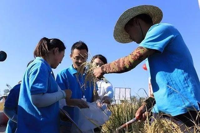 袁隆平再创奇迹!青岛试种海水稻亩产破600公斤!
