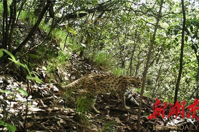 常德壶瓶山自然保护区发现豹猫活动
