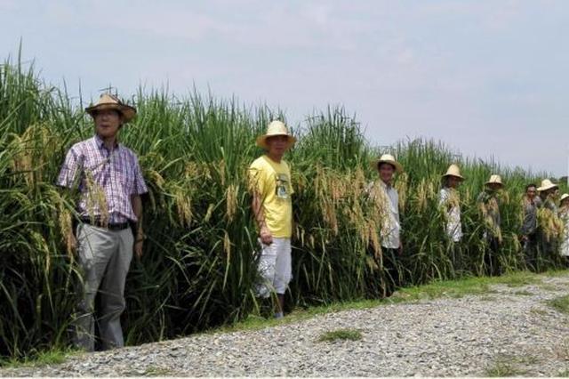 """稻浪蛙声鱼影:中国科学家长沙种出水稻""""森林"""""""