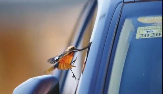 11月24日,长沙市开福区苏家托,北红尾鸲飞近一辆小车,仿佛它也想过把车瘾。记者 张京明 摄