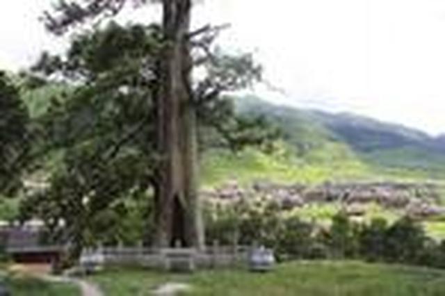 """湖南:千年古树成宝,每棵都配""""保镖"""""""