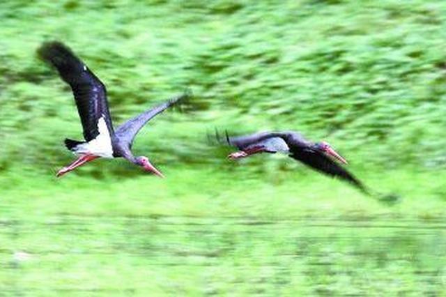 """常德西洞庭湖78只一级保护鸟类黑鹳来""""戏水"""""""