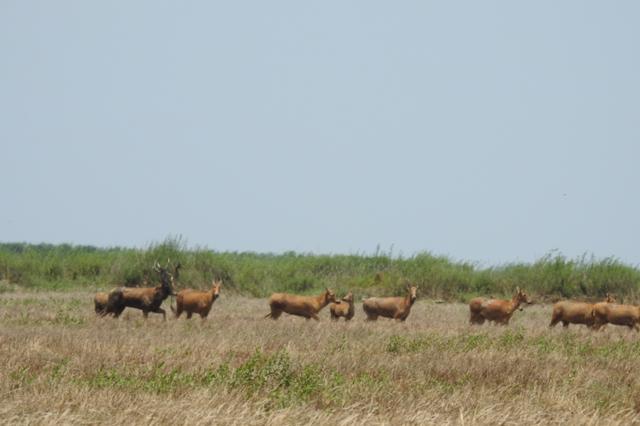成群野生麋鹿东洞庭湖追逐嬉戏 场景堪比大片