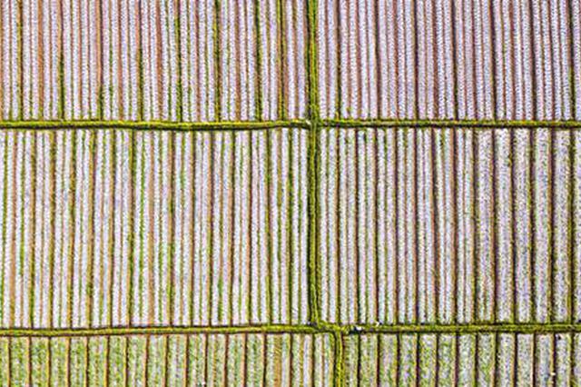 """道县:""""三伏""""初始农事忙 种植西瓜槟榔芋1000余亩"""