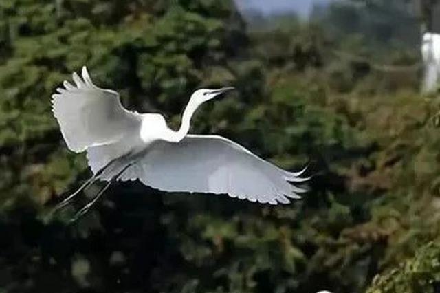 万只白鹭翩然起舞 湘潭的这片林宛如仙境(图)
