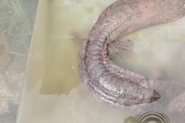 永州潇水河流域首次发现野生娃娃鱼 重达5斤
