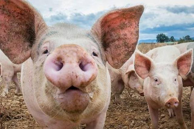 常德一猪场气味难闻 影响周围居民生活