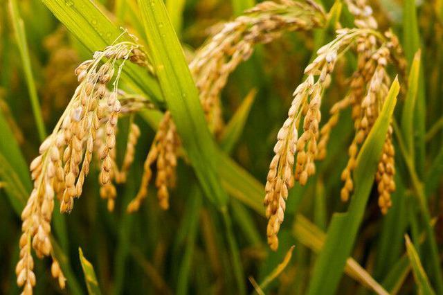 湖南收购新早稻183.4万吨 市场化收购唱主角