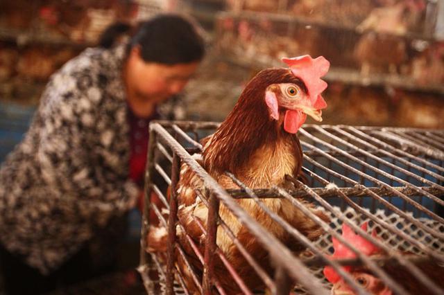湖南省凤凰县发生一起家禽H5N6亚型高致病性禽流感疫情