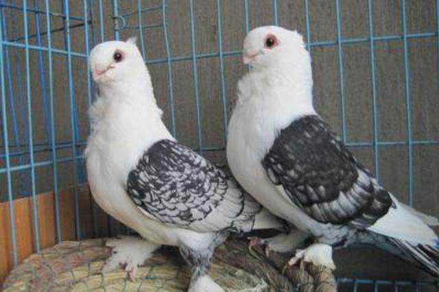 女子胸闷气促误以为患肺癌 竟是邻居养的鸽子惹的祸