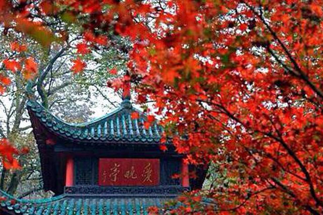 岳麓山枫叶。