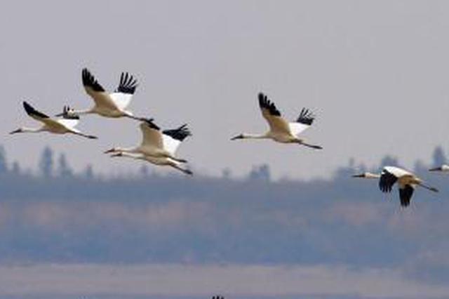 今年首批冬候鳥抵達東洞庭湖自然保護區
