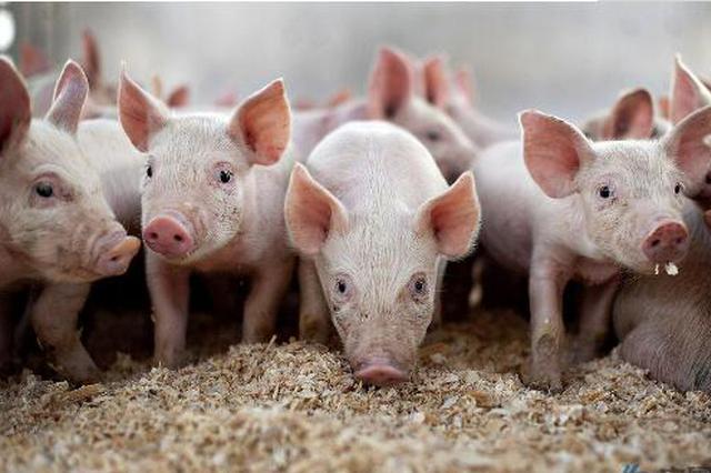 市场价格波幅平稳 常德生猪产能较为充足