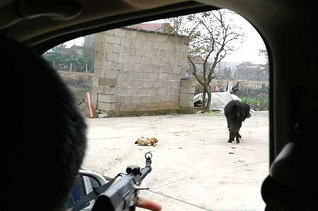 无主藏獒伤人吃鸡 常德临澧民警持枪击毙