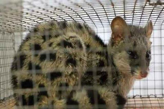 衡东首次发现国家二级重点保护野生动物斑林狸(图)
