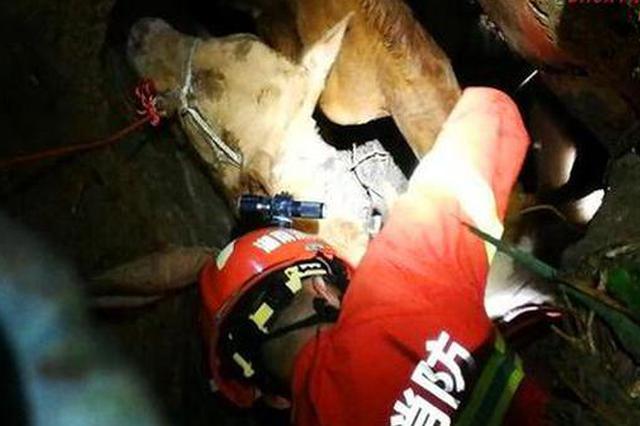 三头牛坠入山洞  道县消防成功救出