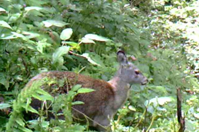 湖南南山国家公园发现国家一级保护动物林麝