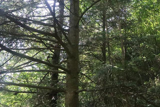湖南南山国家公园发现1100余株国家Ⅰ级重点保护野生植物