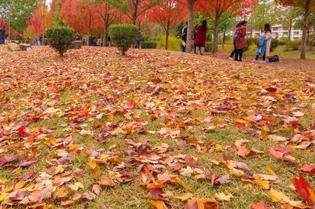 """一夜雨疏风骤,枫叶飘落铺成""""红地毯"""""""