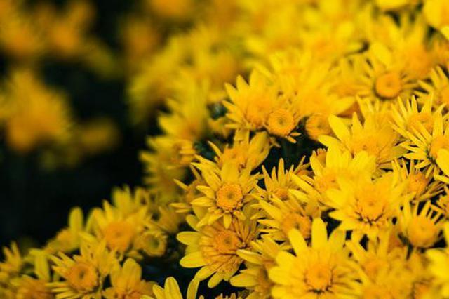 岳麓山菊花展到了最好看的时候 快来收藏这波超美手机壁纸