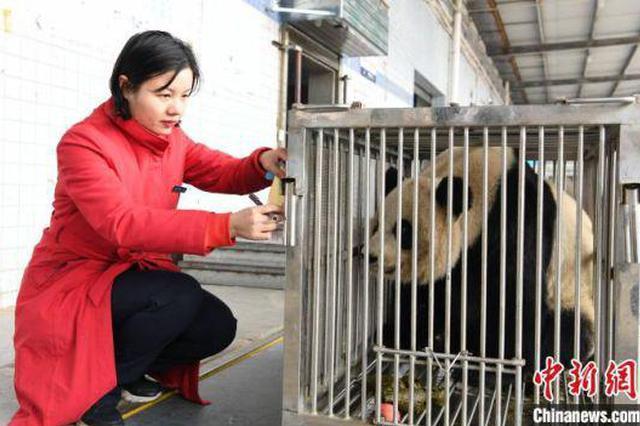 """长沙动物园大熊猫""""君君""""""""真真""""返回家乡成都"""