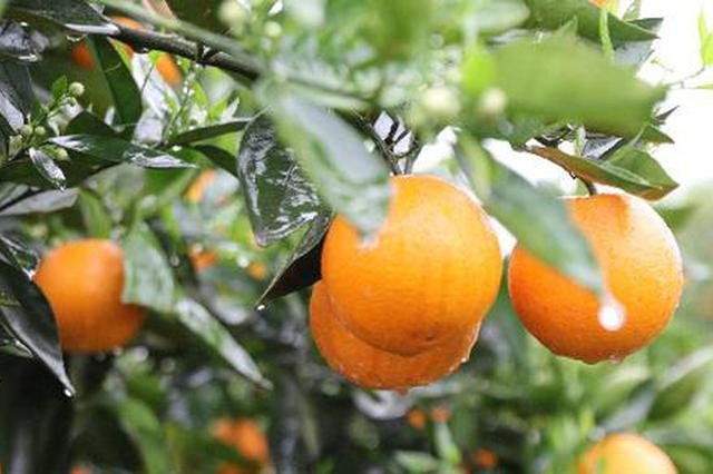 江永县向光村夏橙基地。