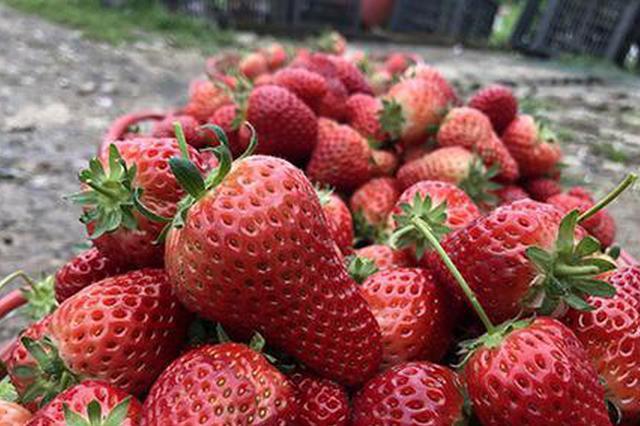 一株株草莓苗长势旺盛。